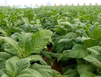 用于烟草种植