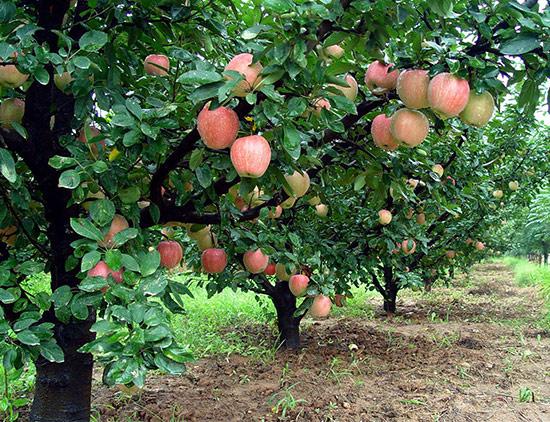 用于果园种植