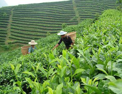 用于茶园种植
